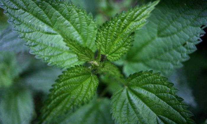 'I'm trying to earn the title 100 feet Pete' - Current stinging nettle eating champion aims to beat his record