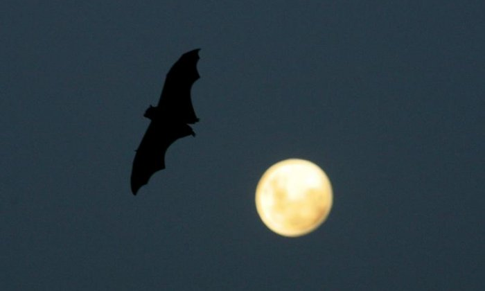 Vampire bats carrying rabies in Brazil are found to be drinking human blood