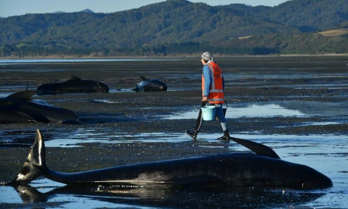 Whale carcasses punctured to prevent them from exploding at New Zealand beach