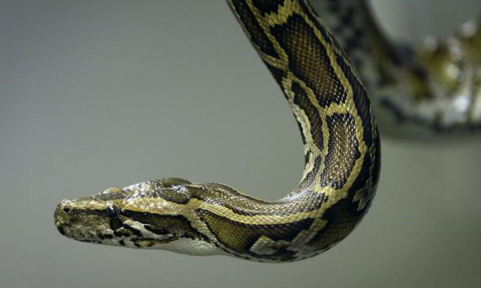 Pythons hunters wanted in South Florida