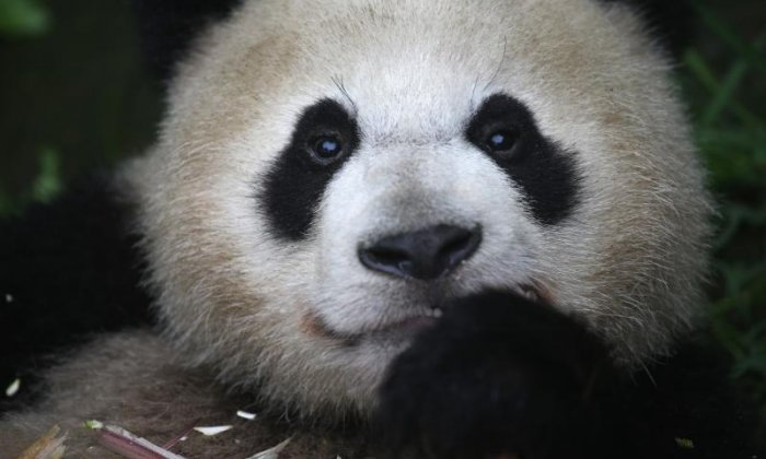 Panda markings could show their food supply is not good enough