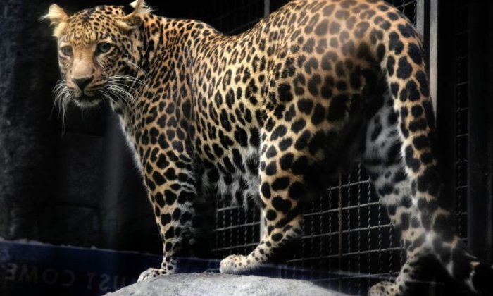 National Geographic unveils first ever hyper-realistic animatronic leopard in London