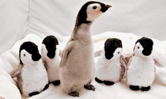 When penguins molt it happens all at once, and is called a catastrophic molt