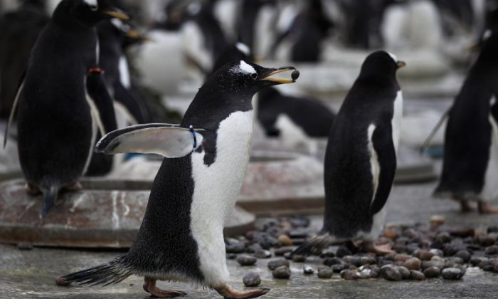 The fastest penguin is a gentoo penguin