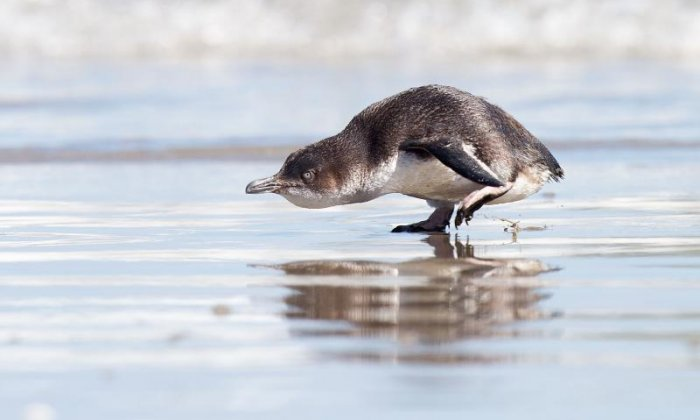 The smallest species of penguin is called the little blue penguin