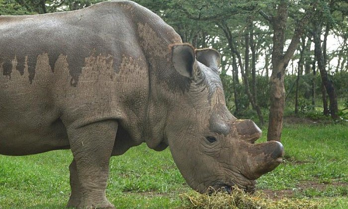 Rhino joins Tinder in last-ditch attempt at mating