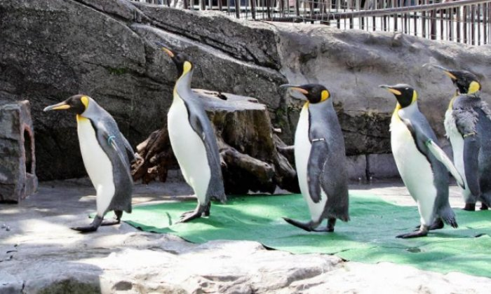 Fossils show the earliest penguin relatives existed 60 million years ago