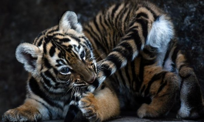 The Big Debate on stripes: 'What do you think tigers would look like without their stripes? They'd look like big furry idiots'