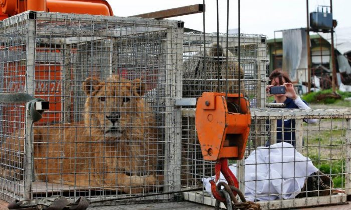 Lion and bear rescued from abandoned zoo in war-torn Mosul