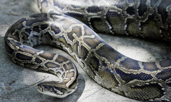 Two metre python found on a street in France