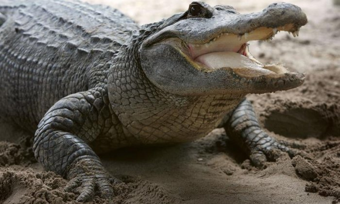Three men steal alligator from nature centre after being kicked out of bar