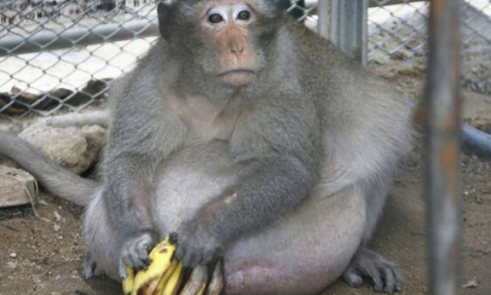 Monkey who pigged out on junk food rescued and placed on diet in Thailand