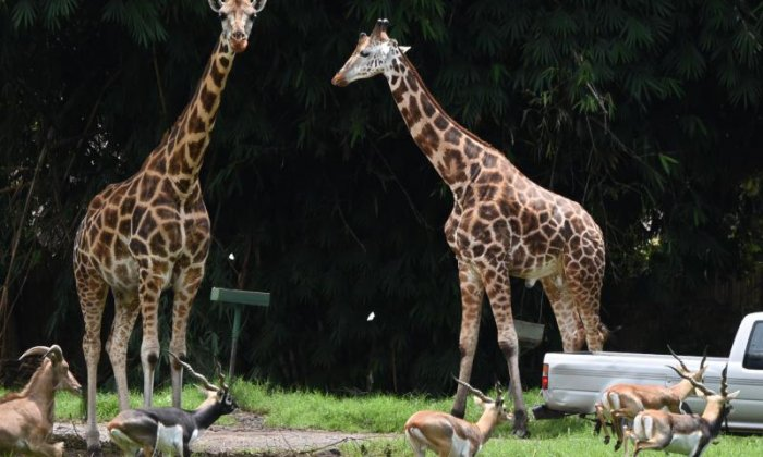 WATCH: Antelope suddenly viciously attacks resting giraffe in Netherlands zoo