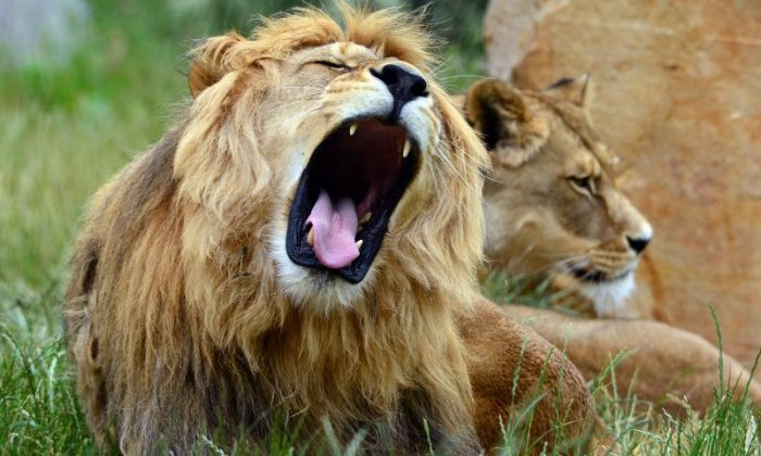 Rangers shoot dead four lions who escaped South African national park