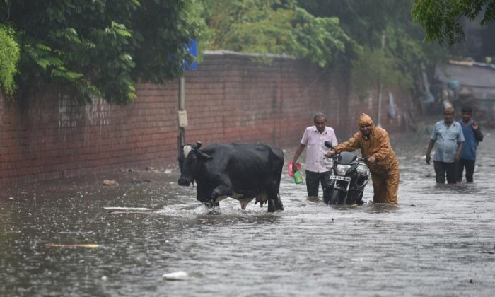 Cows have also been caught up in the floods in Ahmedabad