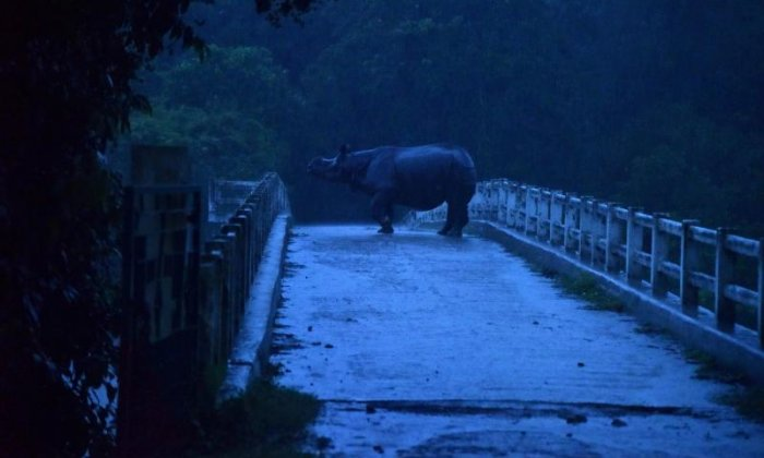 This rhino finds a bridge is a good way to stay away from floodwaters
