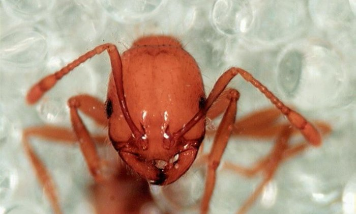 The danger of the deadly floating fire ants surviving in Storm Harvey floods