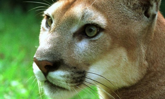 World Lion Day: Mountain lions move closer to urban areas and problems grow