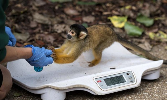 Zookeepers don't use food to entice squirrel monkeys to the scales