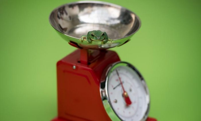 Frogs are simply placed on the scales