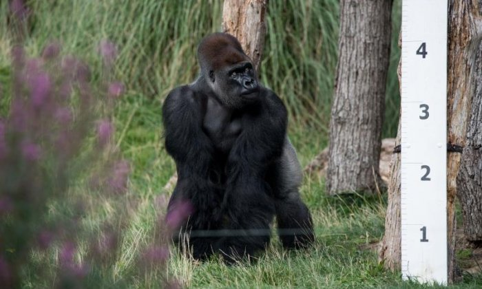 This gorilla is seen taking a look at the measuring device