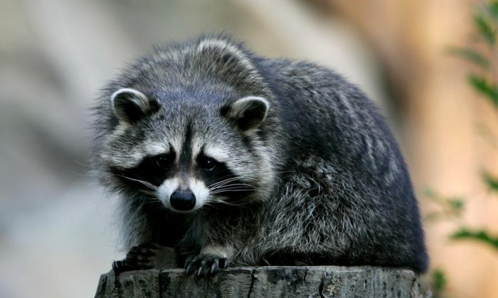 Police called out to 'dying raccoon' which was actually just drunk