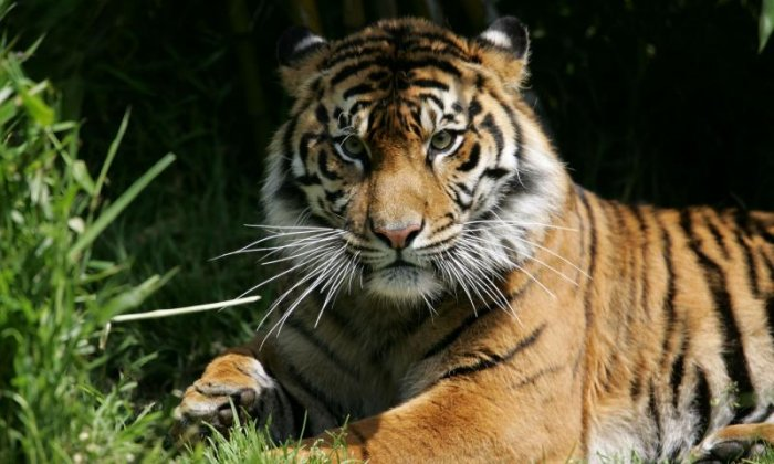 A tiger has been shot and killed in Georgia, say American authorities