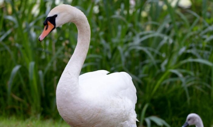 The Big Debate on swans: 'Swans can famously break a man's arm, imagine what they can do with military training'
