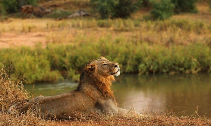 Suspected poacher mauled to death and eaten by pack of lions