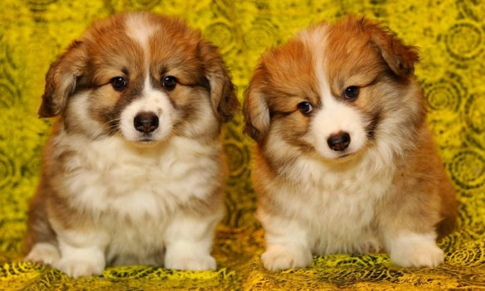 Caroline Yates says puppies like these Welsh corgis deserve better than illegal farms