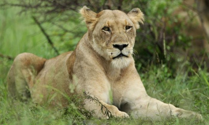 Lioness mauls woman to death at 'lion whisperers' wildlife sanctuary