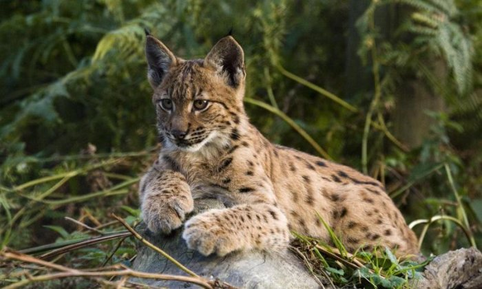 Environment Secretary blocks bid to reintroduce lynx to Britain