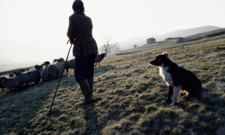 It's a real life 'Homeward Bound' story: Sheepdog finds its way home from 240 miles away