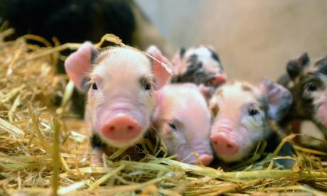 "Dr. Julia Baines from the People for the Ethical Treatment of Animals (PETA) has condemned the potential transplantation of organs from pigs into humans as ""ethically corrupt""."
