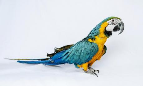 Polly want chlamydia? Man develops illness from pet parrot