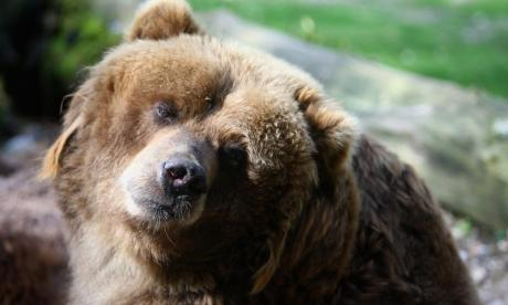 Bear found playing with an unexploded Second World War shell