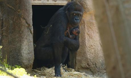 Panic broke out after Kumbuka escaped from his enclosure