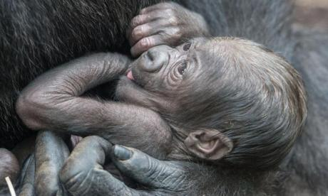WATCH: Baby gorilla is born at San Diego Zoo, to the surprise of zoo keepers