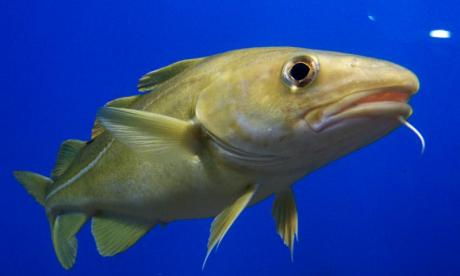 Scientists believe cod speak with regional accents