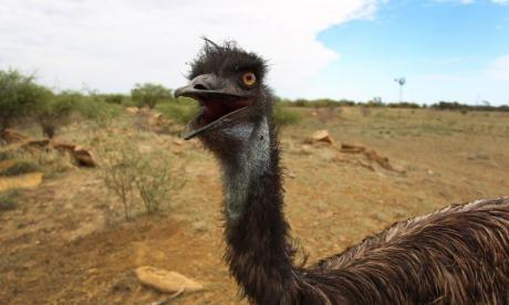 WATCH: Emu menaces bike rider