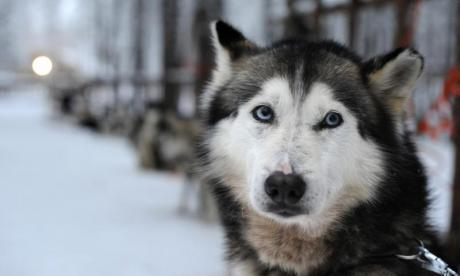 Chinese zoo admits to putting a Siberian husky in a wolf enclosure