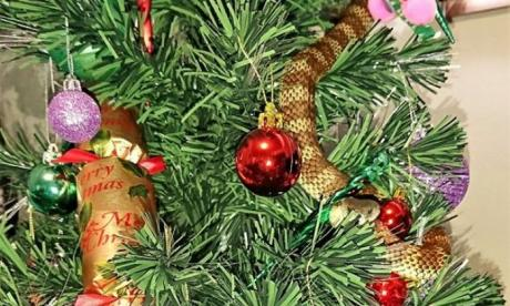 Tiger snake found hiding in a Christmas tree in Melbourne