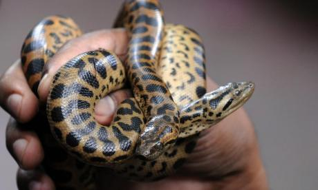 Virginia woman finds anaconda in her apartment