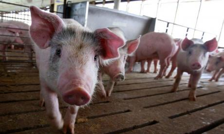 Scientists create a human and pig hybrid, as part of donor organ research