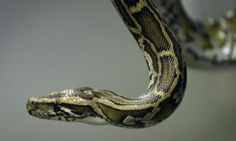 Snake hunters to be hired in Florida to cull burmese pythons