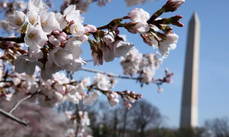 The Big Debate on blossom: 'Trees these days are full of cheap knock-off blossom made by children in sweat shops'