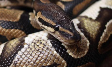 Search of Florida home turns up 100 dead pythons
