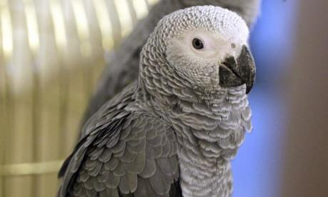 Pet parrot accidentally poisons dogs by feeding them grapes