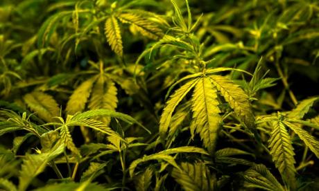 Police called to disturbance in South Lanarkshire find cannabis farm