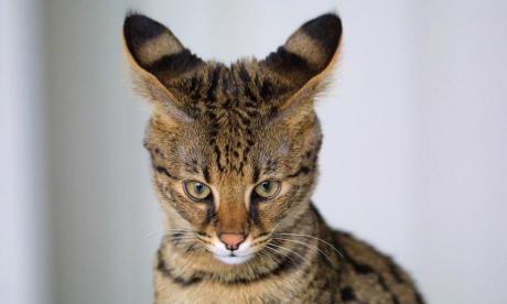 Savannah cat tranquilised after residents spot it roaming around New Jersey